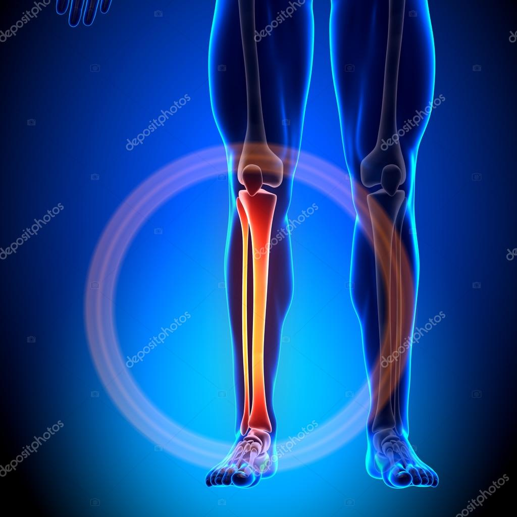 Tibia Fibula - Anatomy Bones — Stock Photo © decade3d #28193167