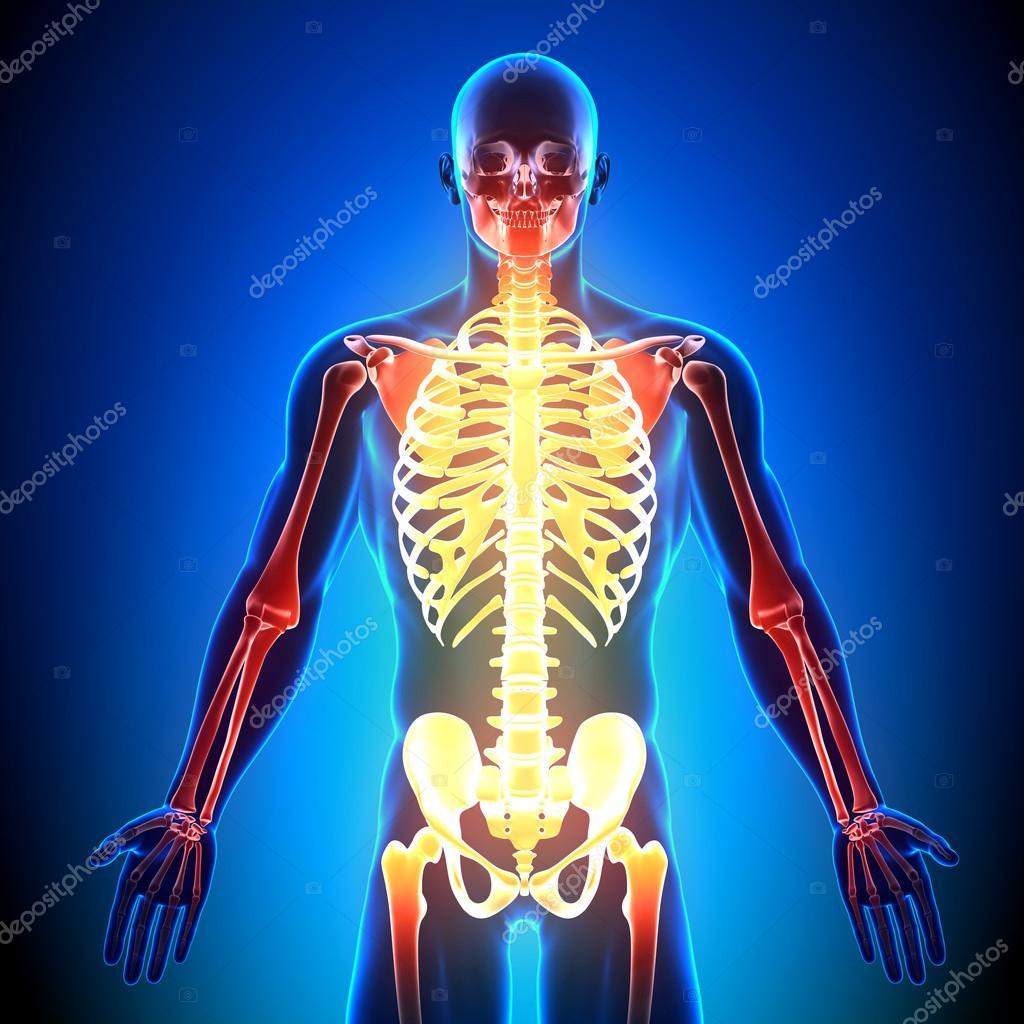 esqueleto frente - los huesos de la anatomía — Fotos de Stock ...