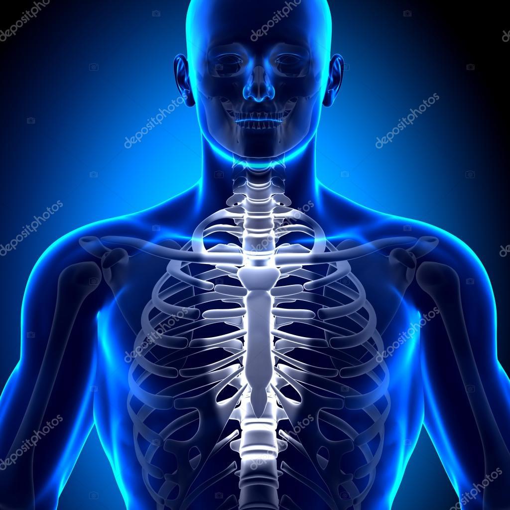 Brustbein - Anatomie Knochen — Stockfoto © decade3d #28193293