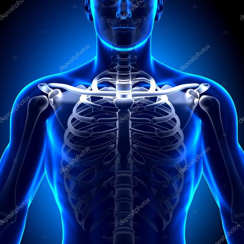 anatomía ósea de clavícula - huesos anatomía — Foto de stock ...