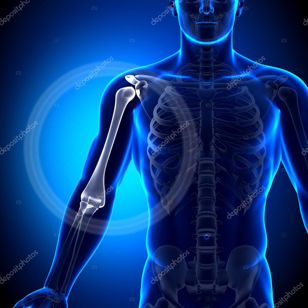 Anatomía del brazo húmero - huesos anatomía — Fotos de Stock ...