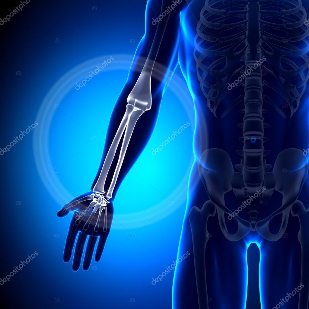 RADIUS Ulna - Anatomie Knochen — Stockfoto © decade3d #28193337