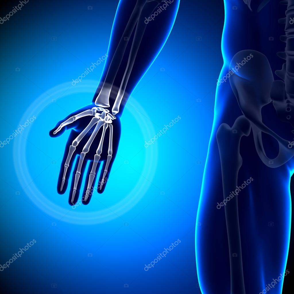 falanges de carpo metacarpianos - la mano huesos anatomía — Fotos de ...