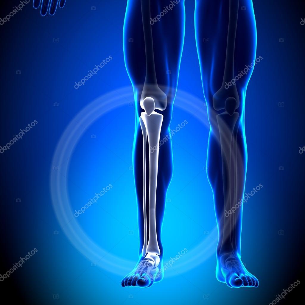huesos tibia peroné - anatomía del becerro - anatomía — Foto de ...