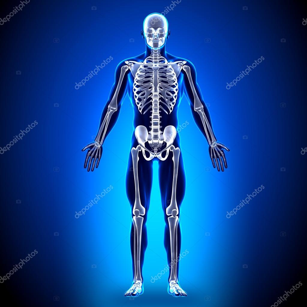 esqueleto - los huesos de la anatomía — Foto de stock © decade3d ...