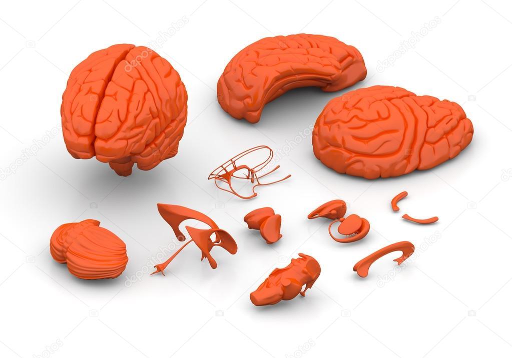 Groß Gehirnteile Ideen - Menschliche Anatomie Bilder - madeinkibera.com