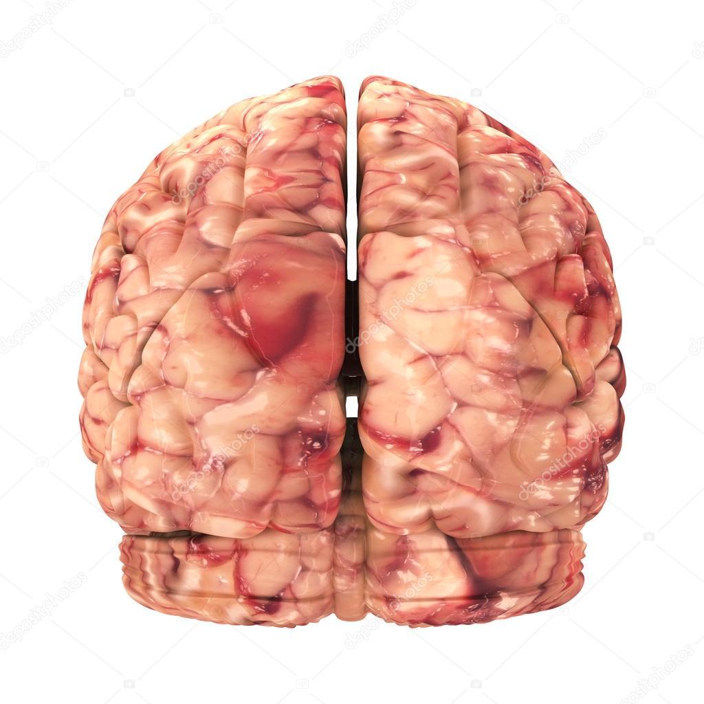 cerebro de anatomía - vista trasera aislado en blanco — Fotos de ...