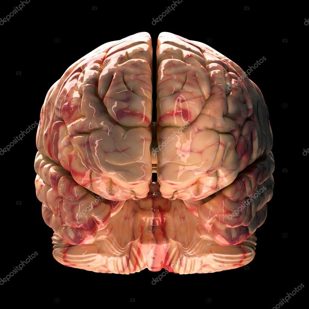 cerebro de anatomía - vista frontal sobre fondo negro — Fotos de ...