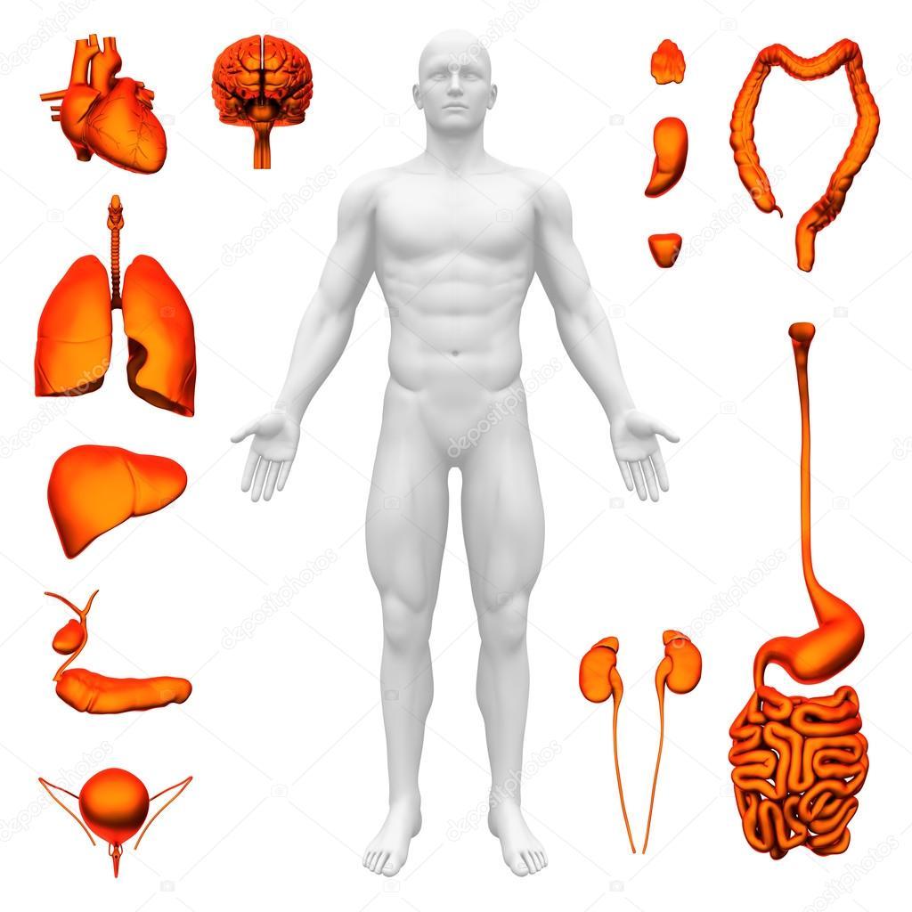 órganos internos - anatomía humana — Fotos de Stock © decade3d #31299303
