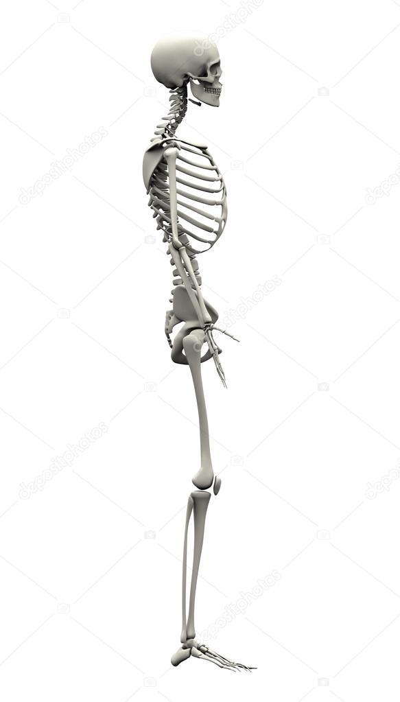 male human skeleton - side view — stock photo © decade3d #31299455, Skeleton