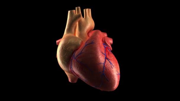 menschlichen Herzschlag - Alphakanal
