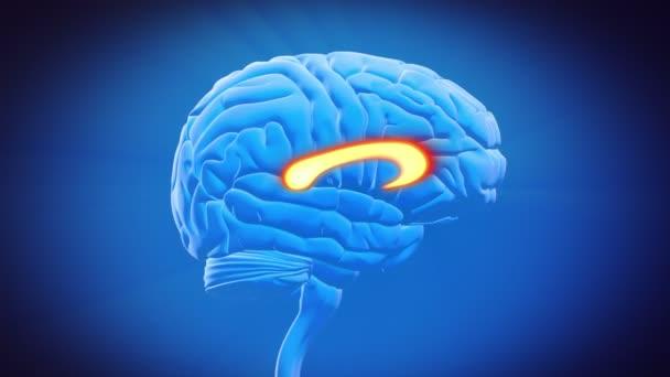 části mozku - corpus callosum