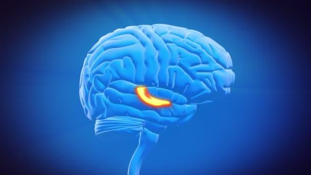 parte - el cerebro hipocampo — Vídeo de stock © decade3d #35149543