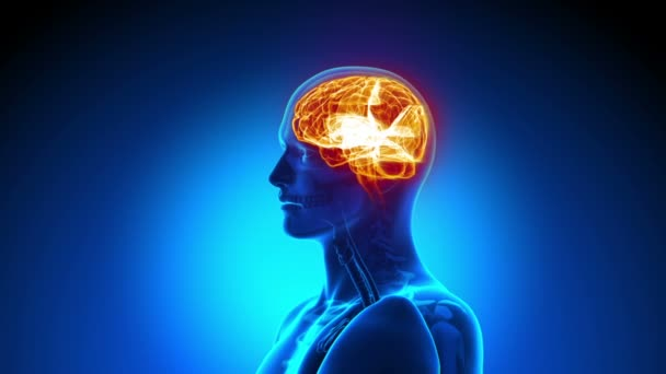 Male anatomy - Human Brain scan