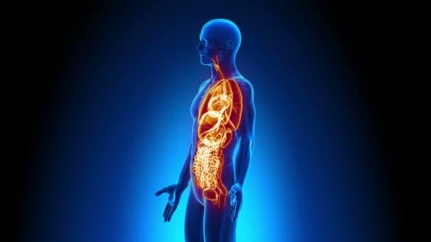 männliche Anatomie - menschliche aller Organe Scan — Stockvideo ...