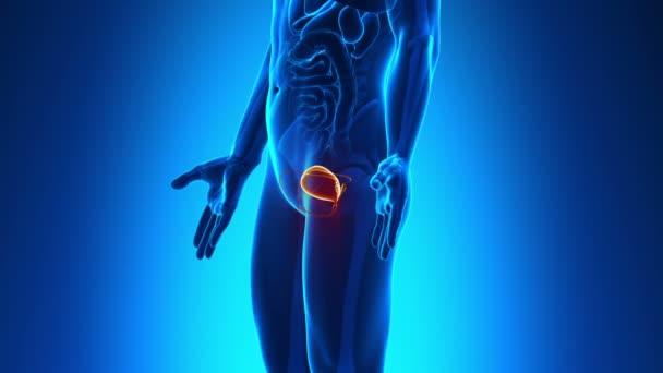männliche Anatomie - menschliche Blase scan — Stockvideo © decade3d ...
