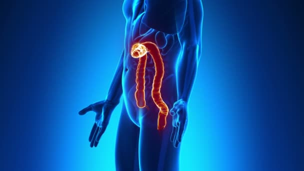 Male anatomy - Human Colon scan