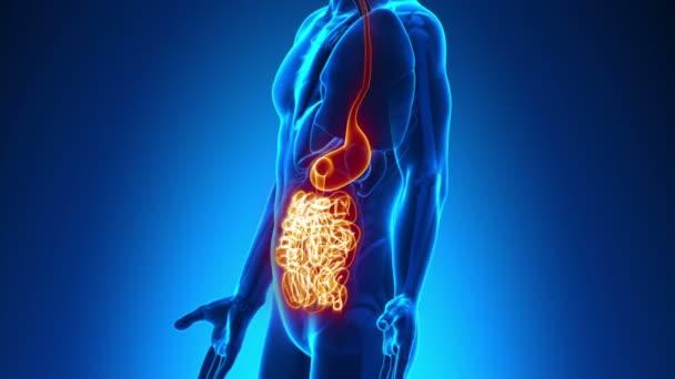 männliche Anatomie - scan menschliche Eingeweide — Stockvideo ...