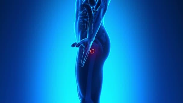 mužské anatomie - lidské prostaty skenování