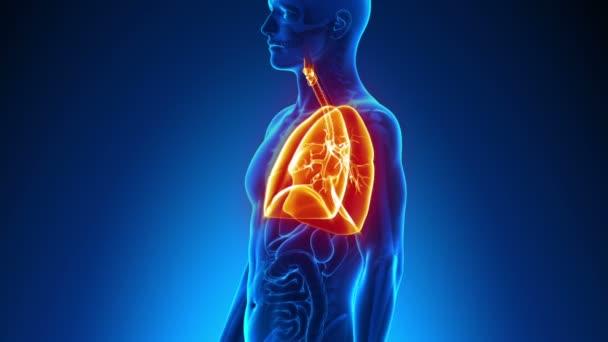männliche Anatomie - scan menschliche Lunge — Stockvideo © decade3d ...