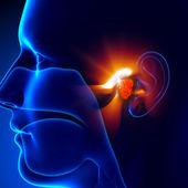 Nosní mandle - ucha
