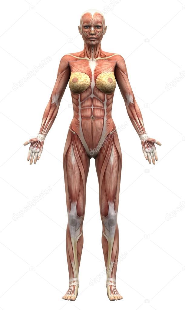 weibliche Anatomie Muskeln - Vordere Ansicht — Stockfoto © decade3d ...