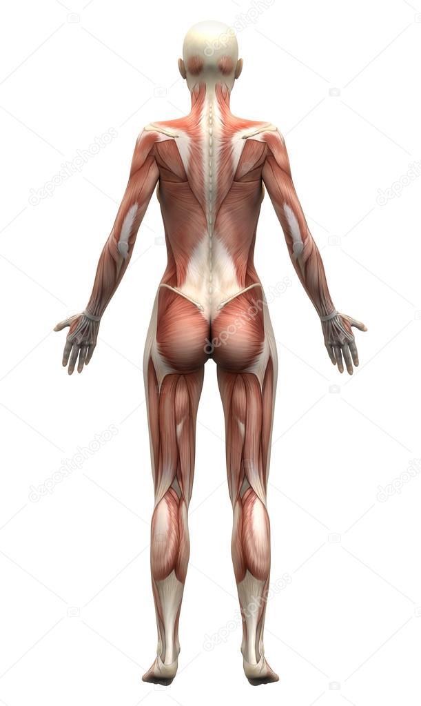 músculos anatomía femenina - vista posterior — Fotos de Stock ...