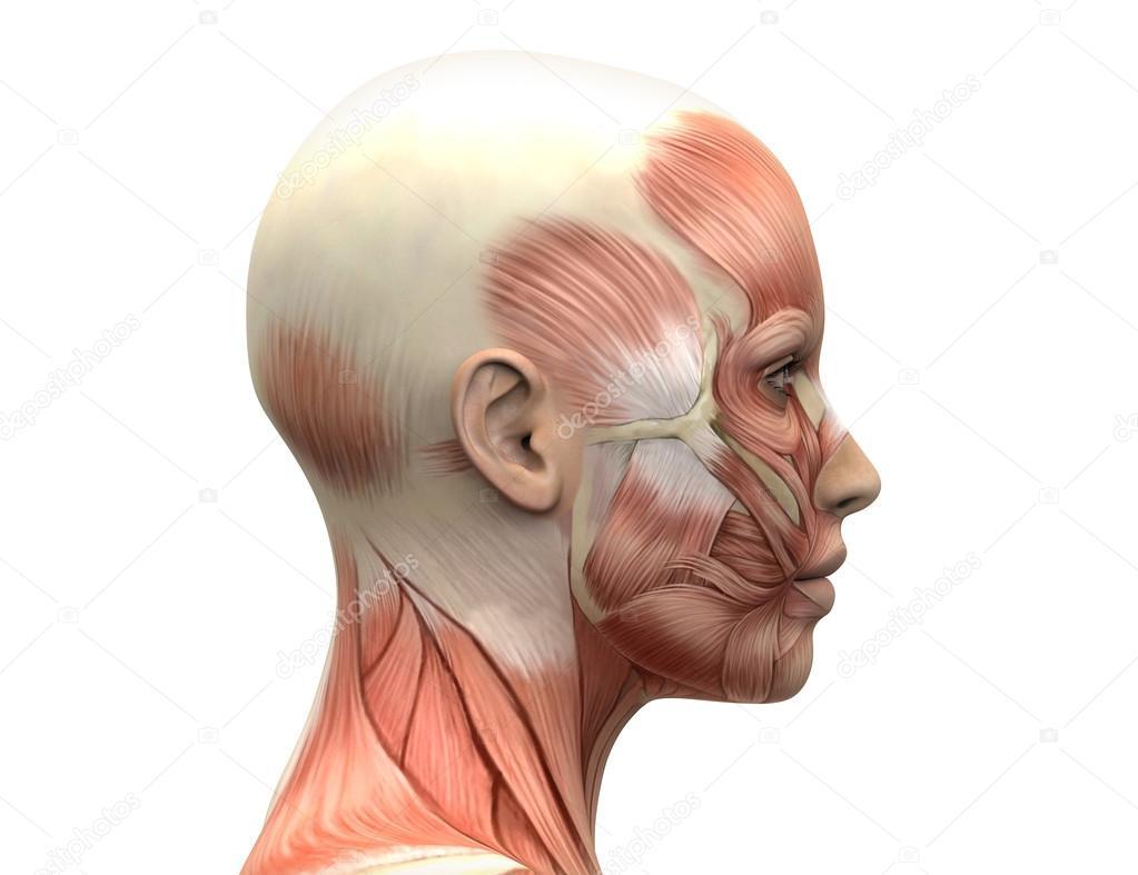 músculos de la cabeza femenina de la anatomía - vista lateral — Foto ...