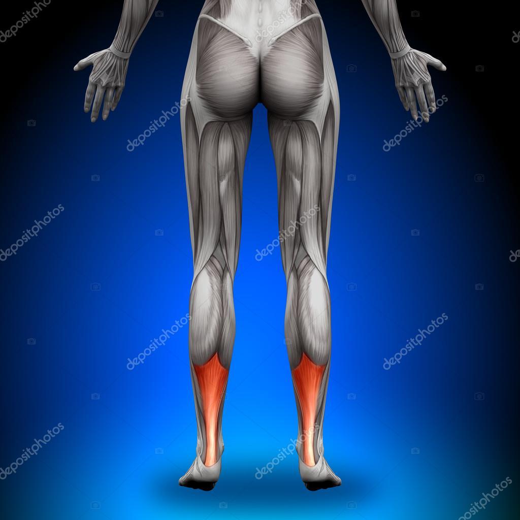 tendón de Aquiles - músculos anatomía femenina — Fotos de Stock ...