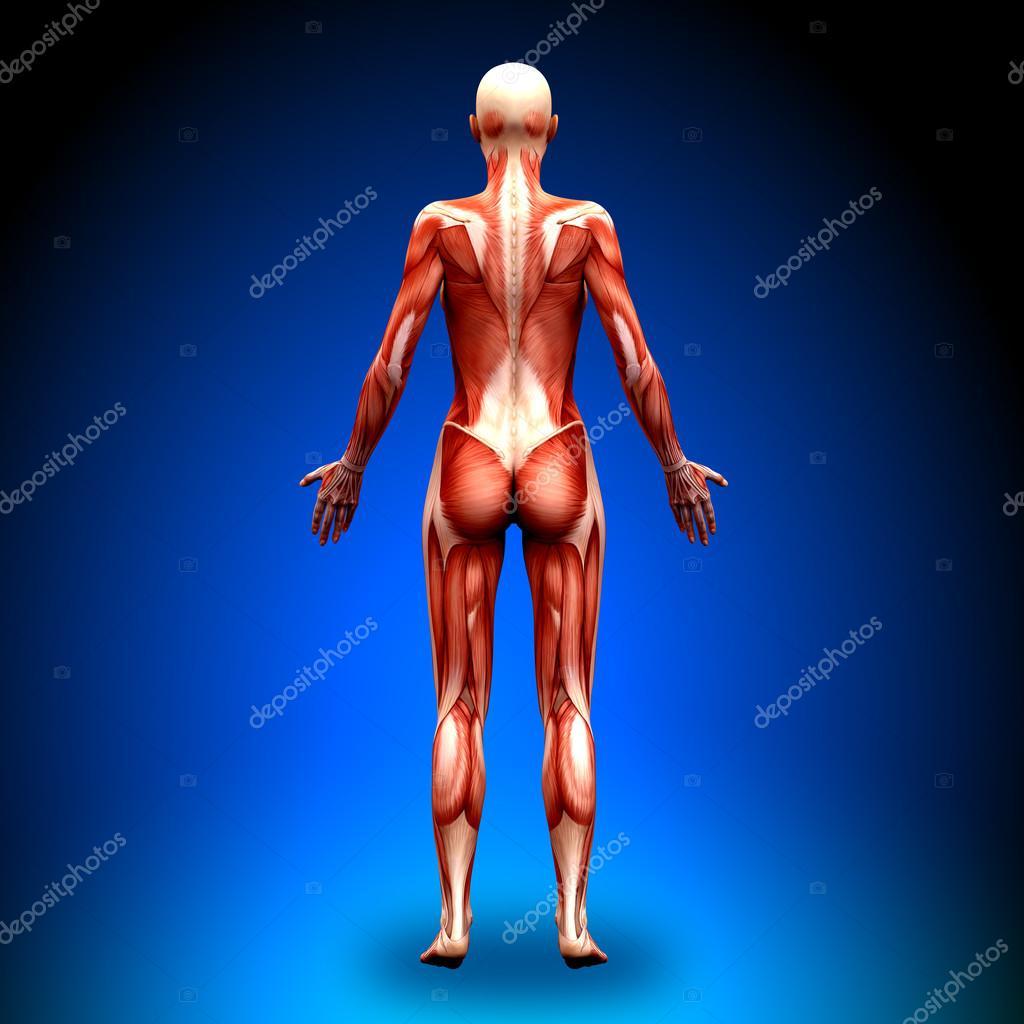 hintere Ansicht - weibliche Anatomie Muskeln — Stockfoto © decade3d ...