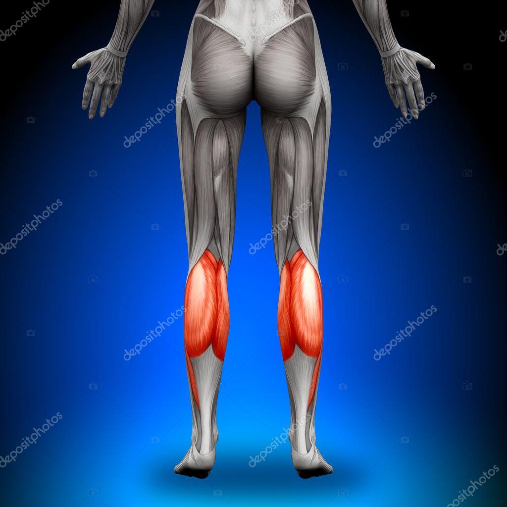 terneros - músculos anatomía femenina — Fotos de Stock © decade3d ...