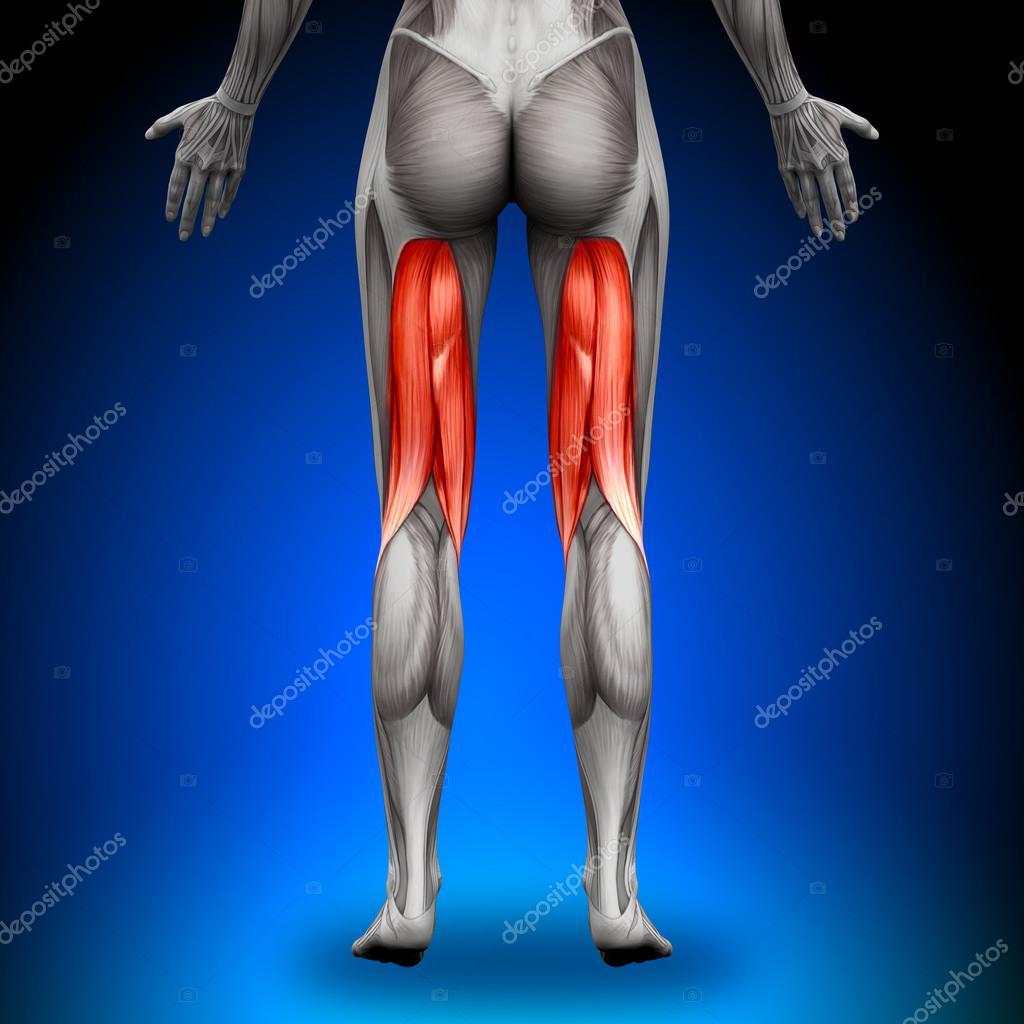 isquiotibiales músculos anatomía femenina — Fotos de Stock ...