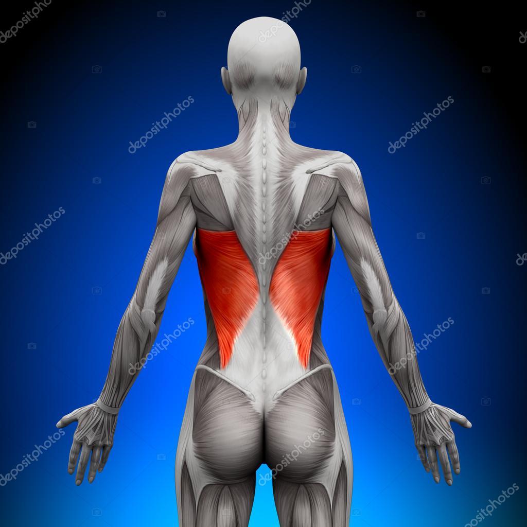 dorsal ancho - músculos anatomía femenina — Foto de stock © decade3d ...