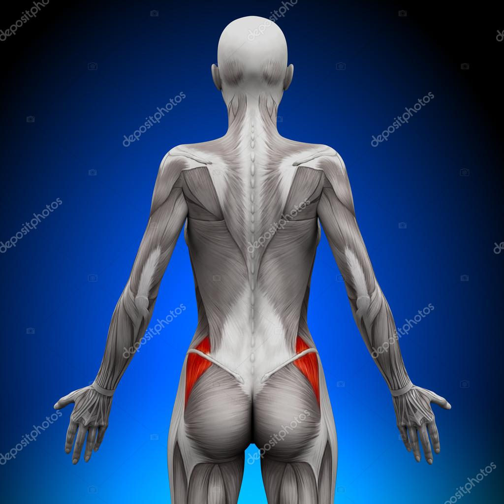 glúteos medius - músculos anatomía femenina — Foto de stock ...