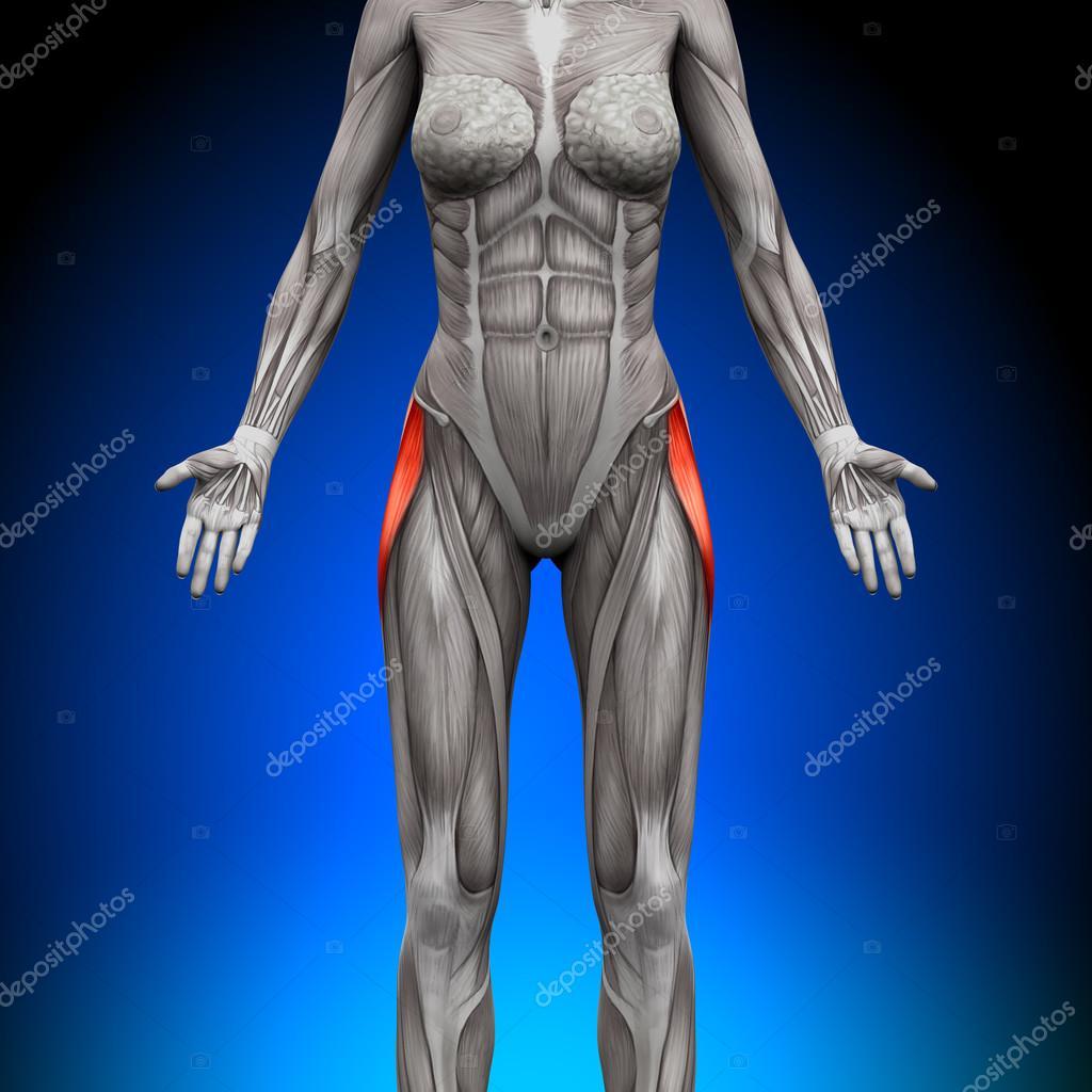 Tensor Fasciae Latea - weibliche Anatomie Muskeln — Stockfoto ...