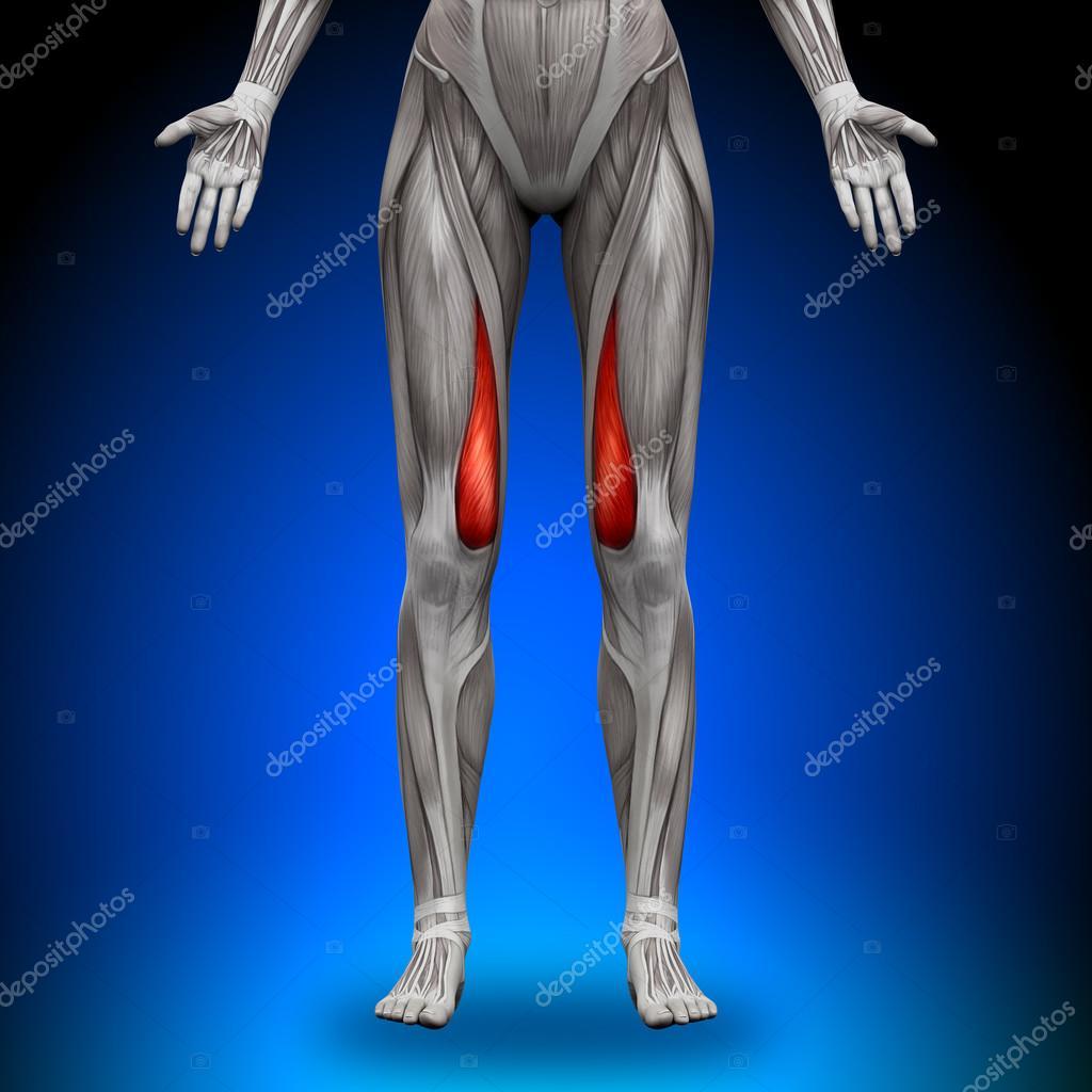 vasto medial - músculos anatomía femenina — Foto de stock © decade3d ...