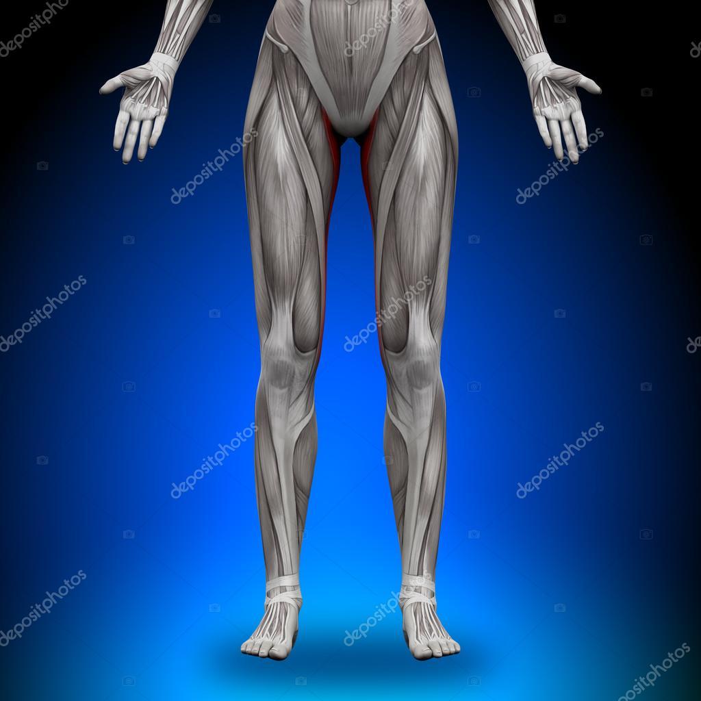 gracilis - músculos anatomía femenina — Fotos de Stock © decade3d ...