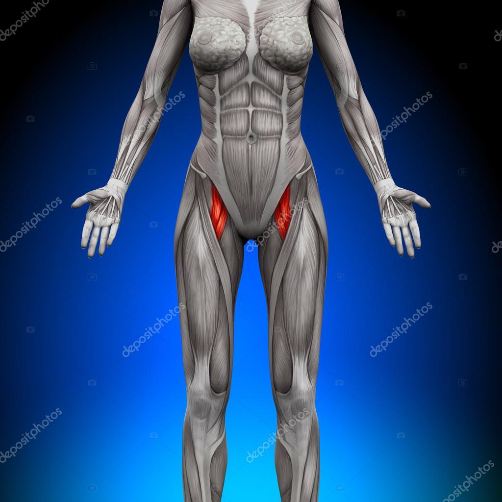Oberschenkel - weibliche Anatomie Muskeln — Stockfoto © decade3d ...