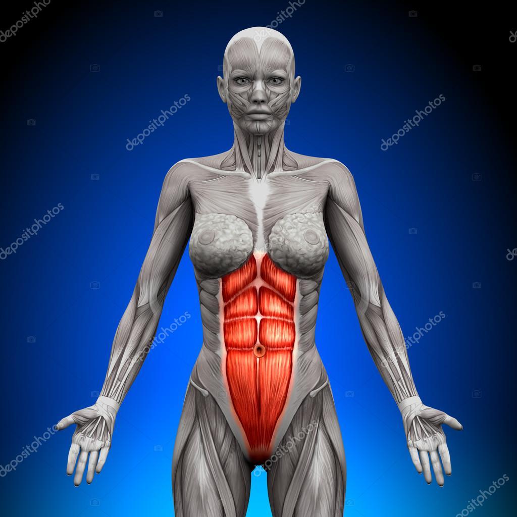 ABS - weibliche Anatomie Muskeln — Stockfoto © decade3d #47045465