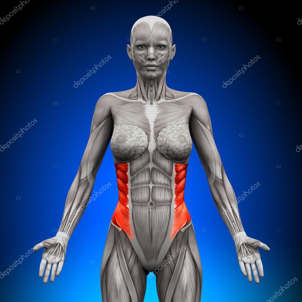 oblicuo externo - músculos anatomía femenina — Foto de stock ...