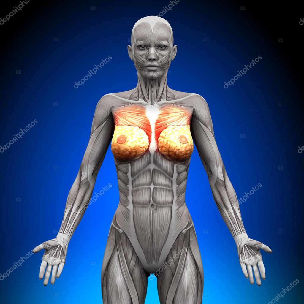 pechos pecho pectoral mayor pectoral menor - músculos anatomía ...