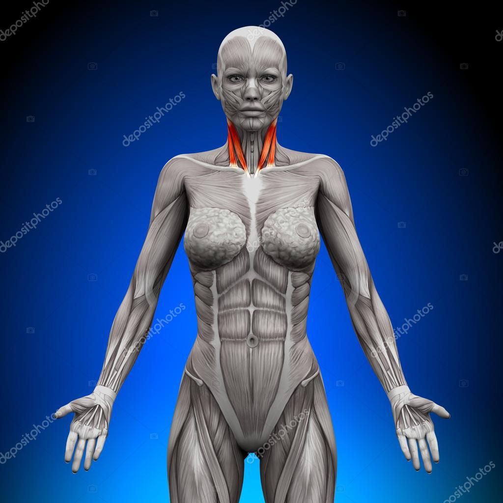Hals - weibliche Anatomie Muskeln — Stockfoto © decade3d #47045517