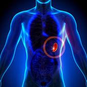 slezina - mužské anatomii lidských orgánů - rentgenový pohled