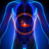 žlučník slinivka - mužské anatomii lidských orgánů - rentgenový pohled