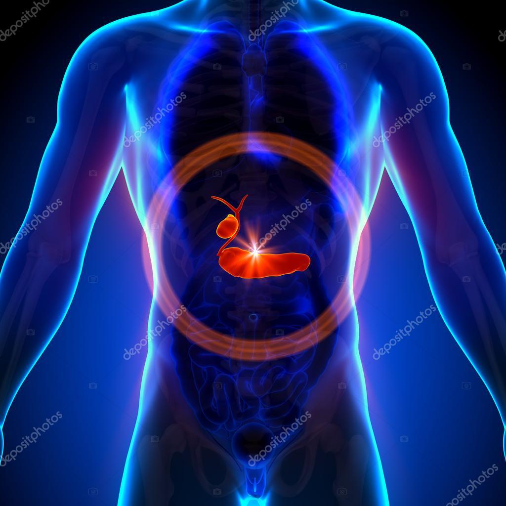 vesícula páncreas - anatomía masculina de órganos humanos - vista de ...
