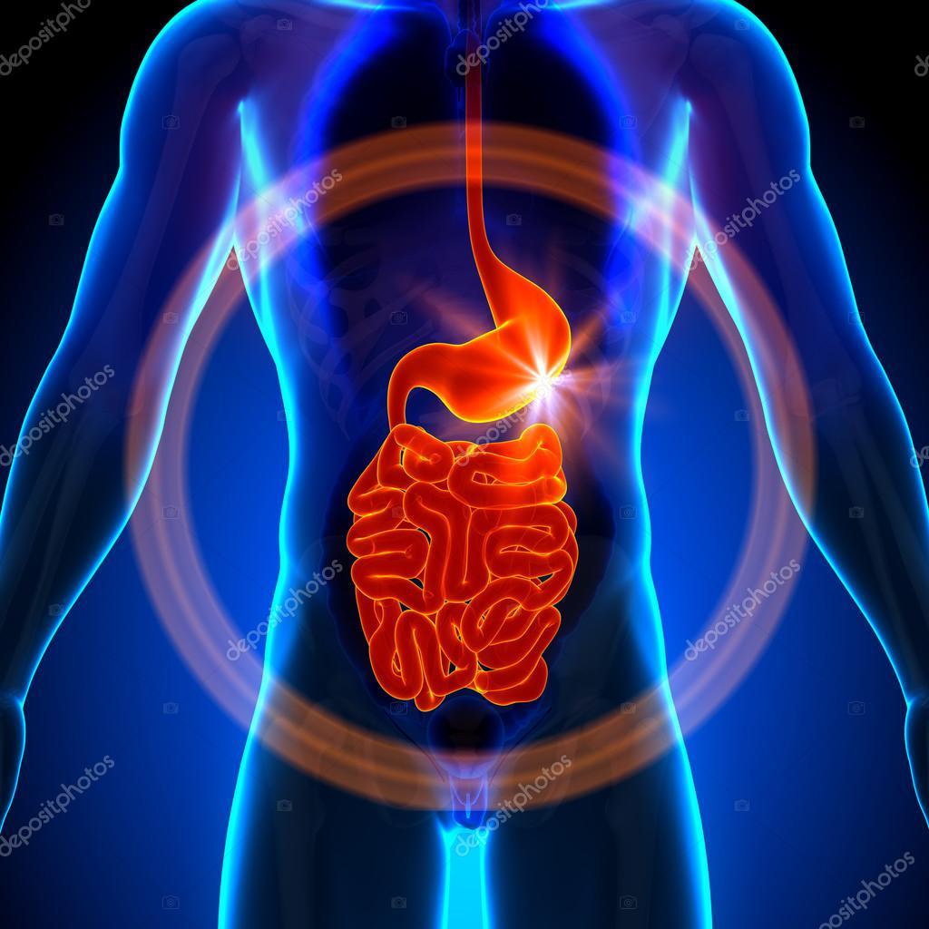 Stomach Guts Small Intestine Male Anatomy Of Human Organs X Ray