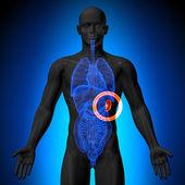 Fotografie slezina - mužské anatomii lidských orgánů - rentgenový pohled