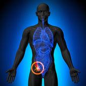 Blinddarm - männliche Anatomie menschlicher Organe - Röntgenaufnahme