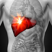 játra - mužské anatomii lidských orgánů - rentgenový pohled