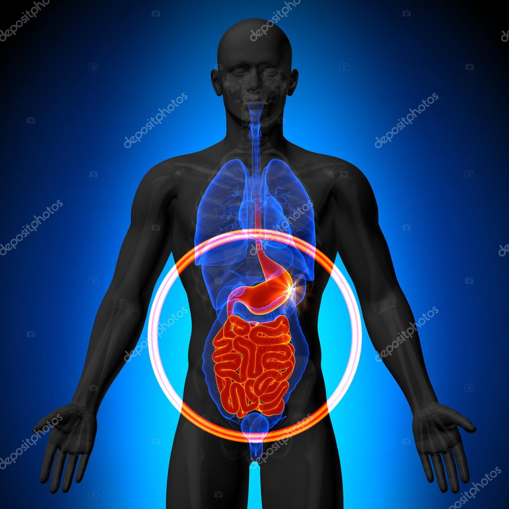 agallas estómago intestino delgado - anatomía masculina de órganos ...